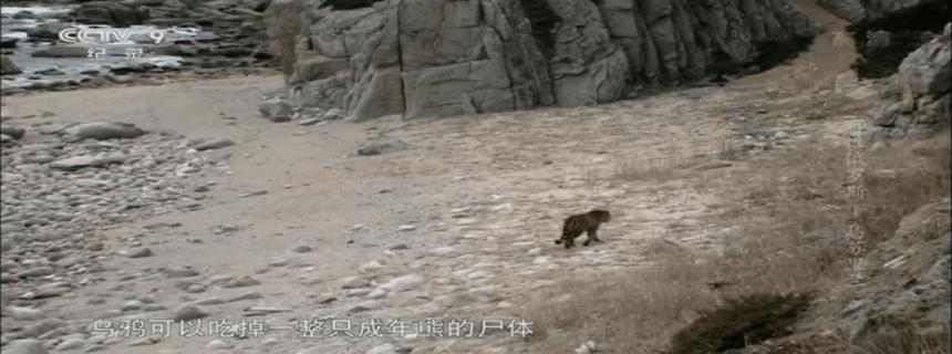 老虎杀死棕熊的视频比比皆是?